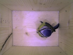 First high-resolution picture from the box. A female blue tit examines the box.