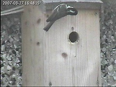 A coal tit examines the box