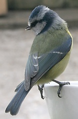 One of the resident blue tits at the feeder