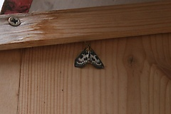 This moth sat on the nest box for most of the day